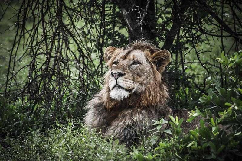 Lion Afrique du Sud