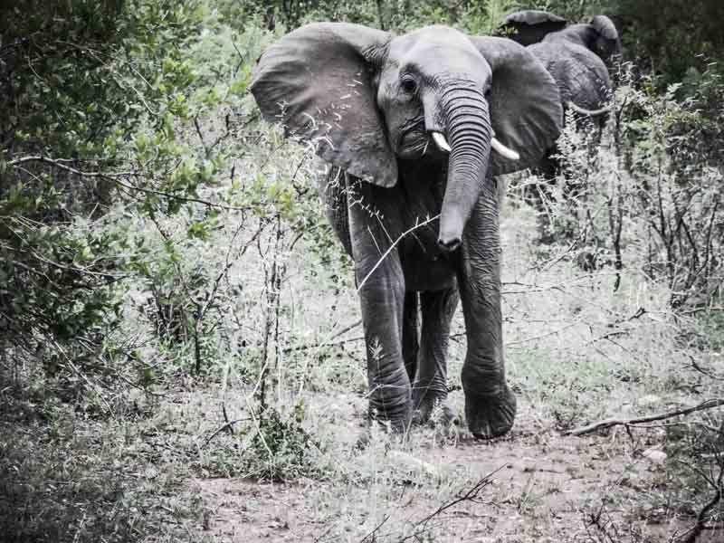 Eléphant Afrique du Sud
