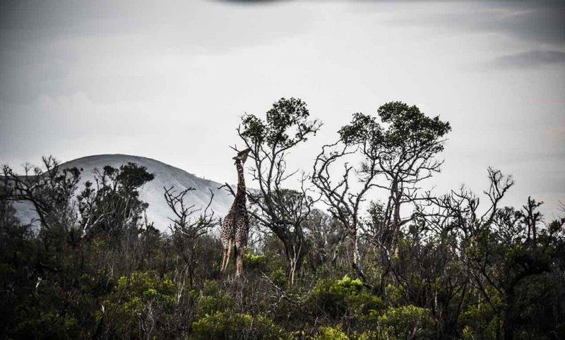 Girafe Afrique du Sud