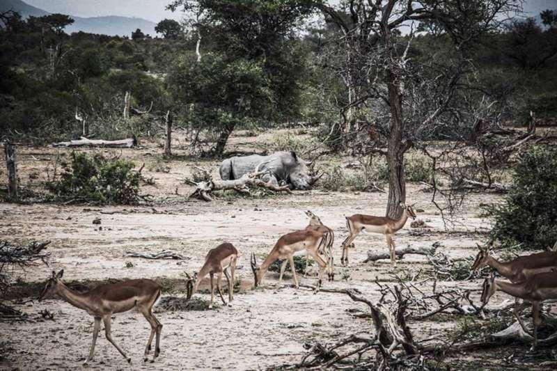 Rhinocéros et impalas Afrique du Sud