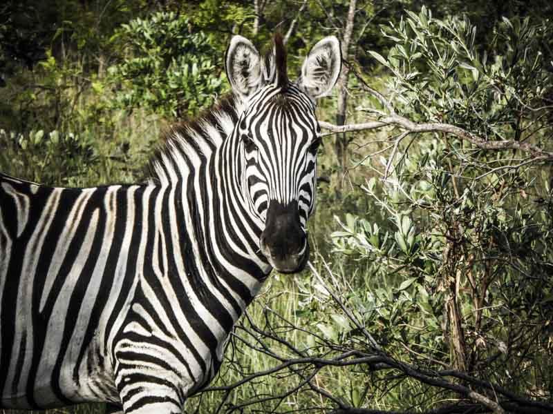 Zèbre en Afrique du Sud