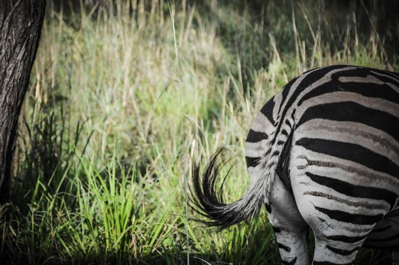 Zèbre Afrique du Sud