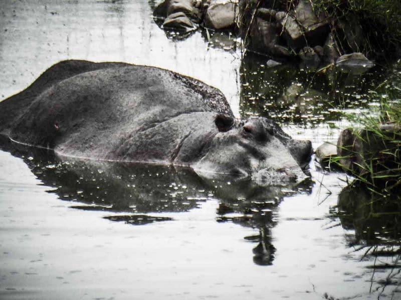 Hippopotame Afrique du Sud