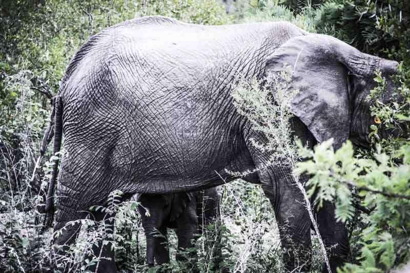 Eléphanteau Afrique du Sud