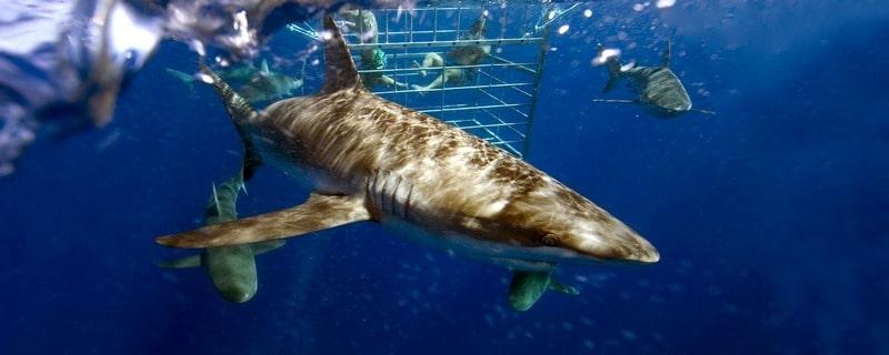 Requins Afrique du Sud
