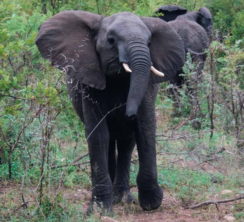 Eléphant Kruger