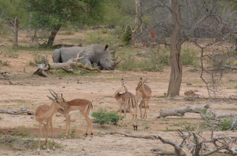 Rhinocéros et impalas