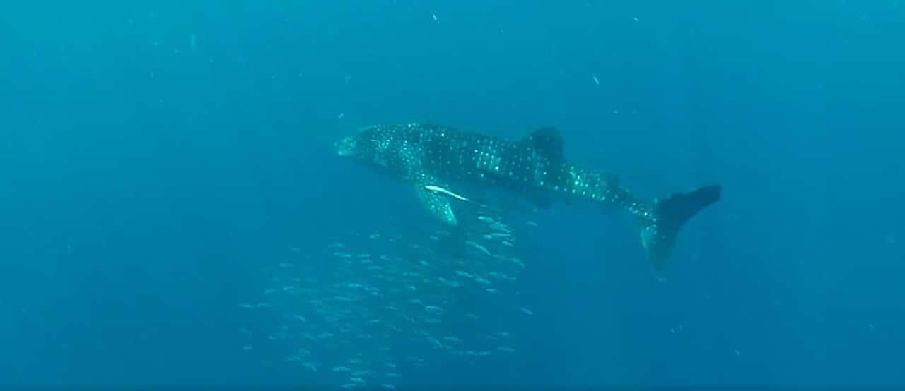 Requin baleine Madagascar