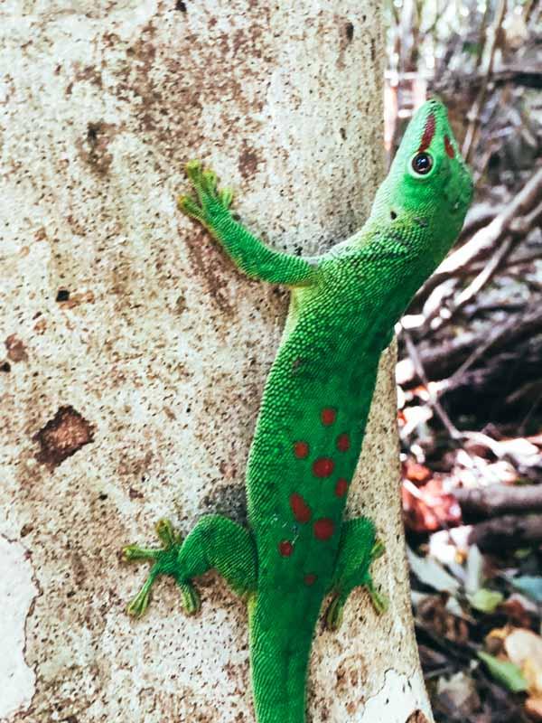 Lezard Madagascar