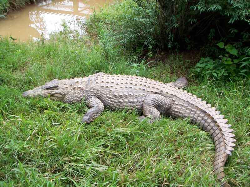 Crocodile Madagascar