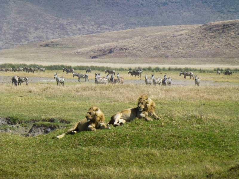 Lions au Ngorongoro