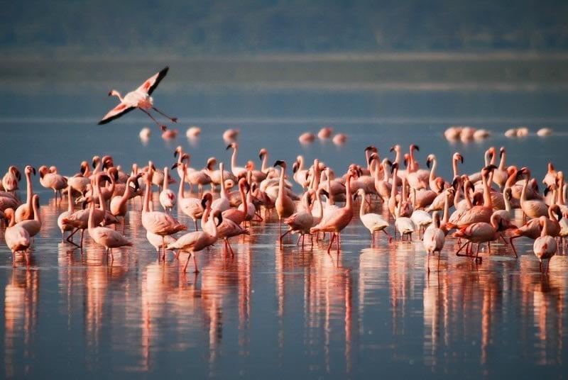 Flamants Lac Manyara