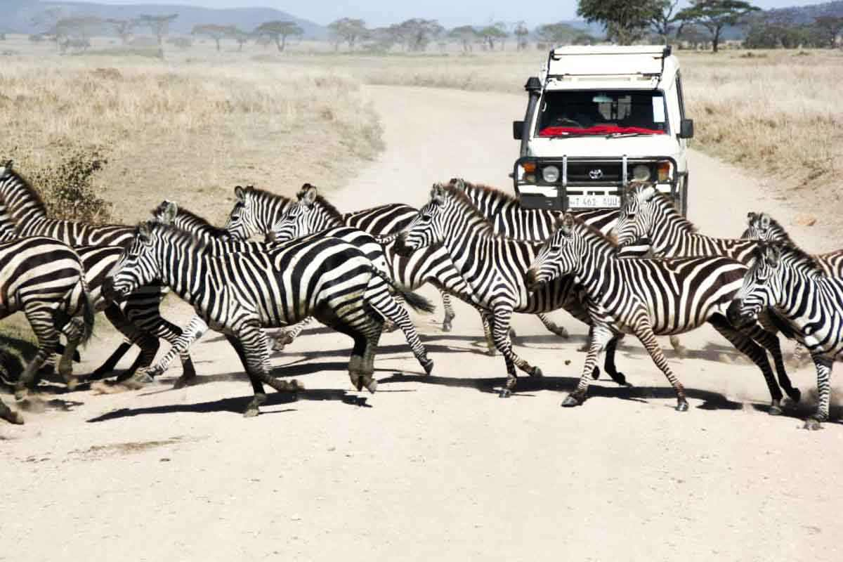 Zèbres Serengeti
