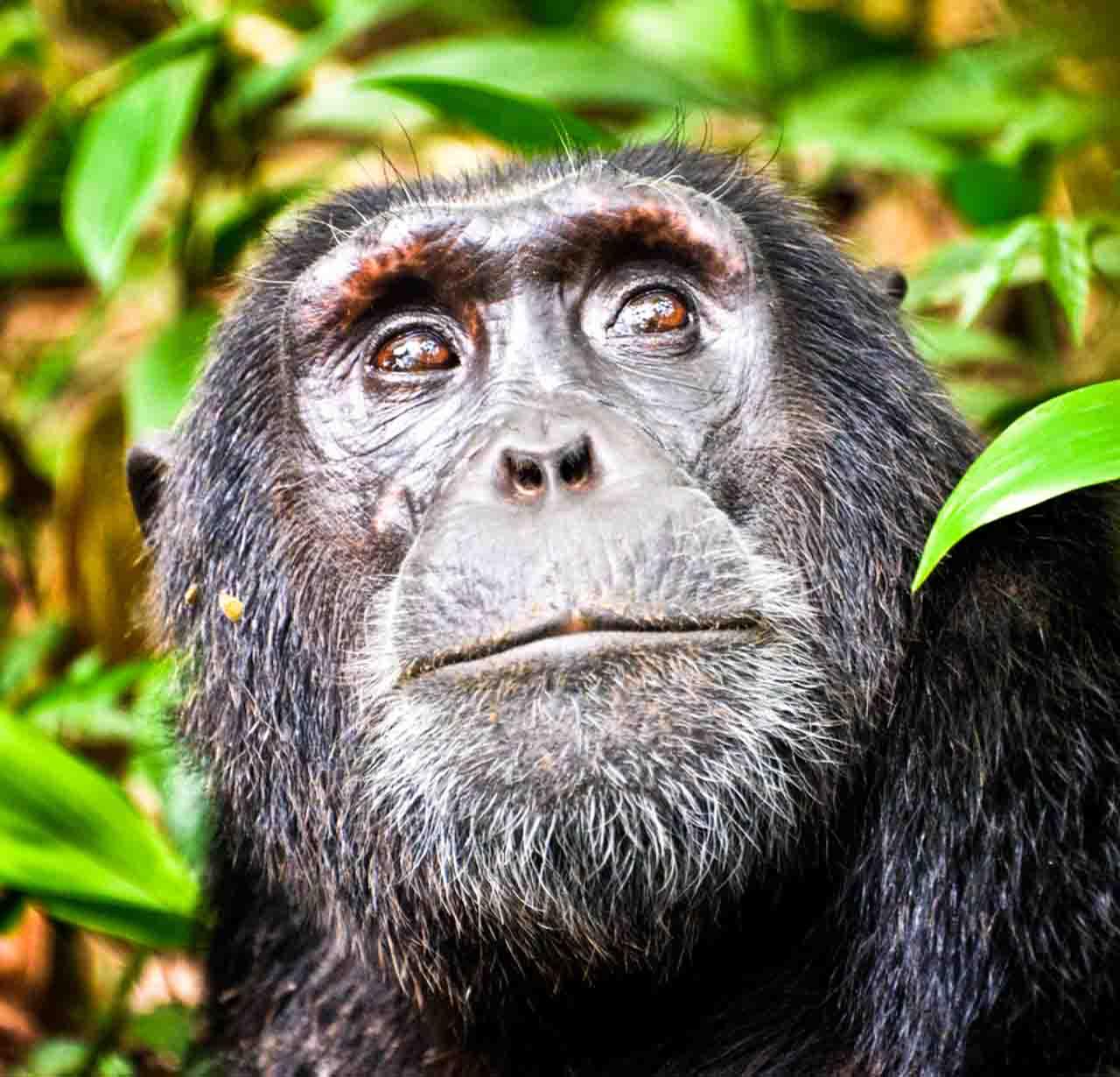 Gorille à Kibale
